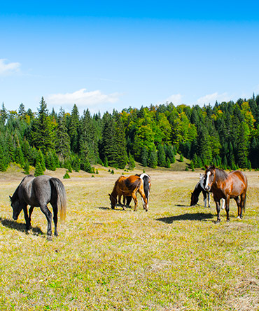 Vrbnica horses on field