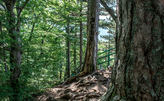primeval forest perucica